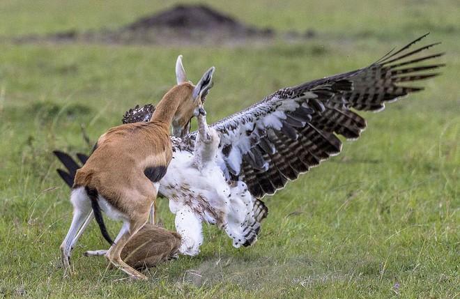 24h qua ảnh: Linh dương mẹ quyết chiến với đại bàng để cứu con - Ảnh 4.