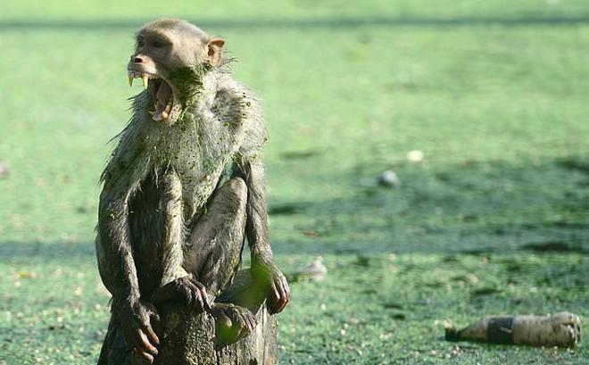 Khỉ đột nhập nhà, bắt trẻ nhỏ mang đi khiến đứa bé tử vong