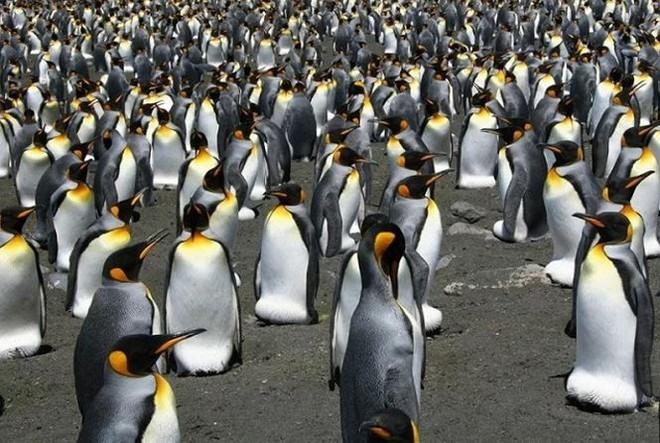 Những đặc điểm thú vị về loài chim cánh cụt vua  - Ảnh 1.