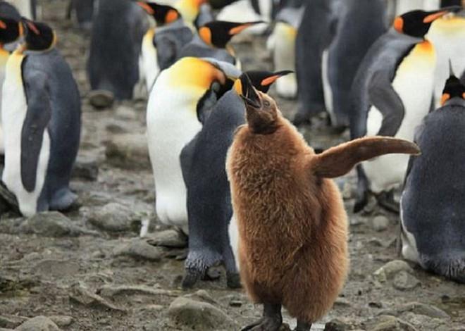 Những đặc điểm thú vị về loài chim cánh cụt vua  - Ảnh 2.
