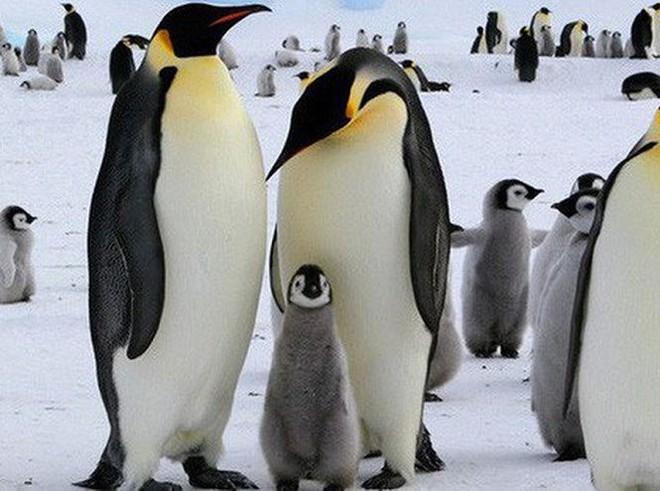 Những đặc điểm thú vị về loài chim cánh cụt vua  - Ảnh 3.