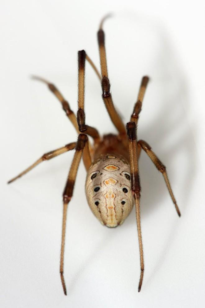 Nọc độc chết người của loài nhện Bắc Mỹ: Mạnh gấp 15 lần nọc rắn đuôi chuông  - Ảnh 4.