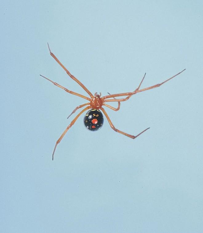 Nọc độc chết người của loài nhện Bắc Mỹ: Mạnh gấp 15 lần nọc rắn đuôi chuông  - Ảnh 5.