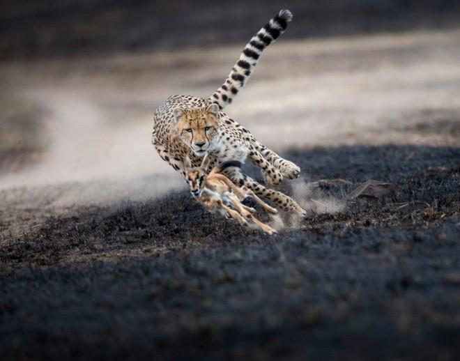 Màn săn mồi nghẹt thở của báo giữa đồng cỏ cháy, đất đen, bụi bặm mịt mù - Ảnh 2.