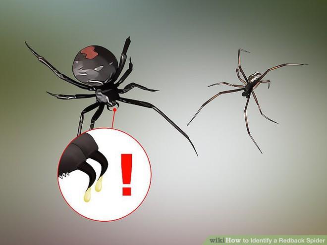 Nọc độc chết người của loài nhện Bắc Mỹ: Mạnh gấp 15 lần nọc rắn đuôi chuông  - Ảnh 2.