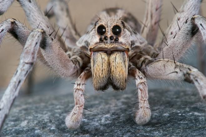 Nọc độc chết người của loài nhện Bắc Mỹ: Mạnh gấp 15 lần nọc rắn đuôi chuông  - Ảnh 6.