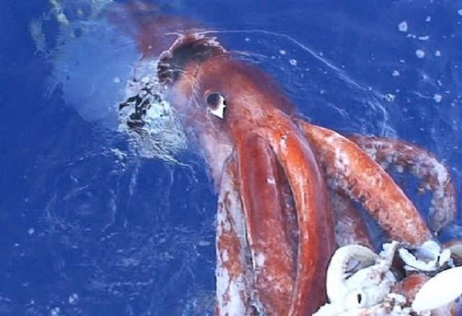 Mực khổng lồ nước sâu, hiện thân của quái thú Kraken - Ảnh 2.