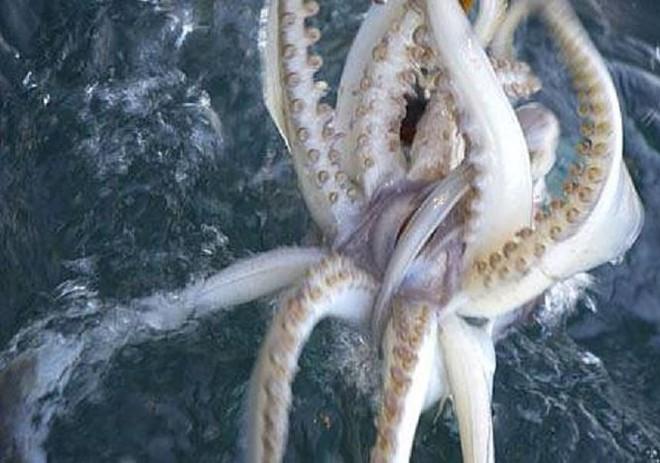 Loài động vật thân mềm to lớn và thông minh nhất biển sâu - Ảnh 2.