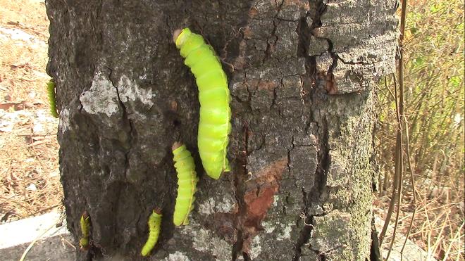 Cận cảnh đàn sâu khổng lồ bủa vây, ăn trụi lá cây xanh  - Ảnh 5.