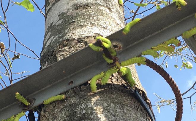 """Cận cảnh đàn sâu """"khổng lồ"""" bủa vây, ăn trụi lá cây xanh"""