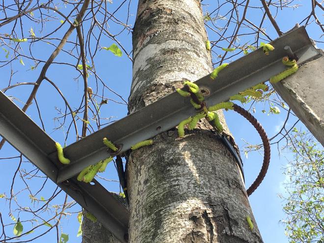 Cận cảnh đàn sâu khổng lồ bủa vây, ăn trụi lá cây xanh  - Ảnh 4.