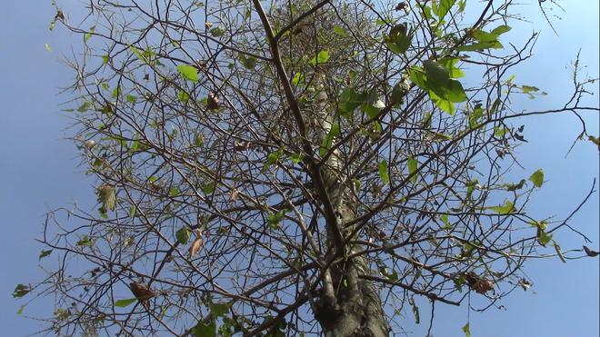 Cận cảnh đàn sâu khổng lồ bủa vây, ăn trụi lá cây xanh  - Ảnh 2.