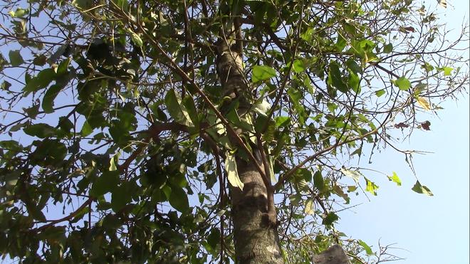 Cận cảnh đàn sâu khổng lồ bủa vây, ăn trụi lá cây xanh  - Ảnh 9.