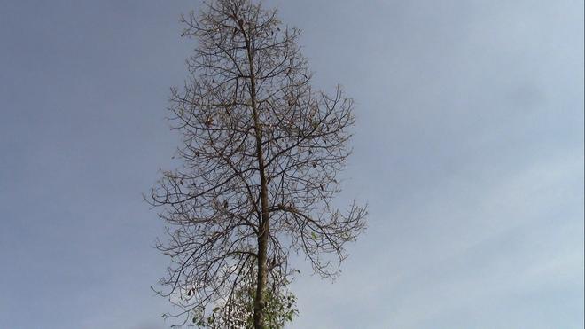Cận cảnh đàn sâu khổng lồ bủa vây, ăn trụi lá cây xanh  - Ảnh 8.