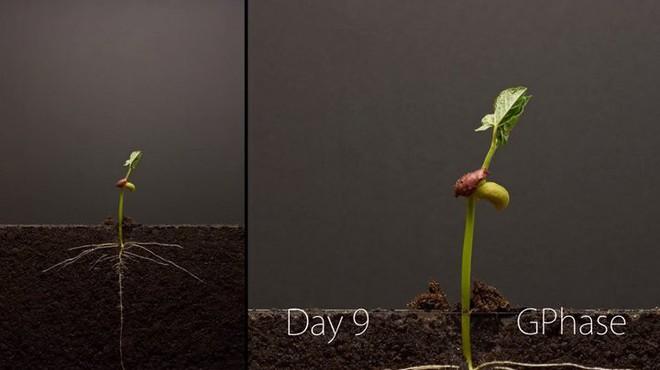[Video thú vị]: Cận cảnh quá trình hạt đậu nảy mầm tới khi bén rễ và mọc thành cây - Ảnh 1.