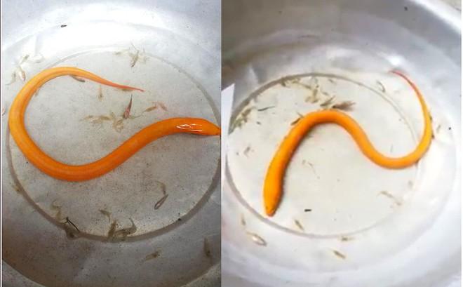 Nông dân ở Nghệ An bắt được lươn vàng quý hiếm, nhiều người hỏi mua giá 75 triệu đồng