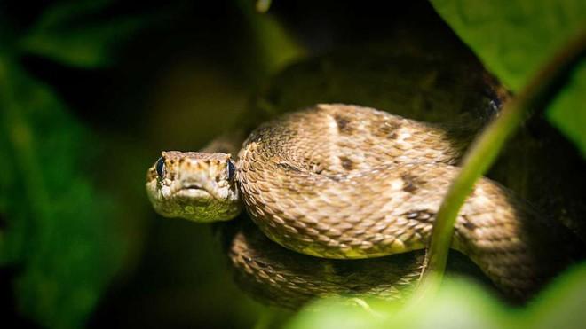 Địa ngục sống trên Trái Đất: Nơi 4000 con rắn độc xâm chiếm đảo hoang - Ảnh 6.