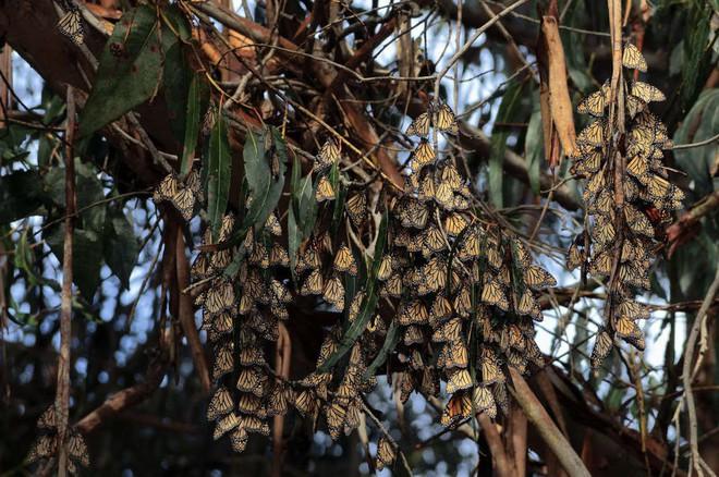 Hàng trăm nghìn con bướm như hình đã bốc hơi theo nghĩa đen chỉ trong vòng 1 năm qua và khoa học vẫn chưa hiểu tại sao - Ảnh 2.