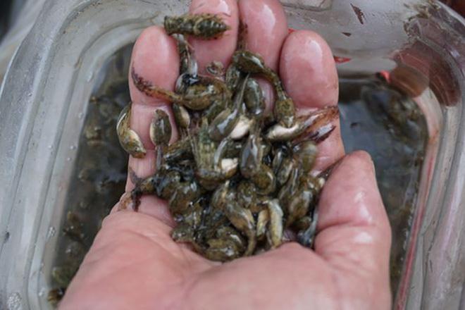 Mùa săn đặc sản nòng nọc ở vùng cao xứ Quảng - Ảnh 2.