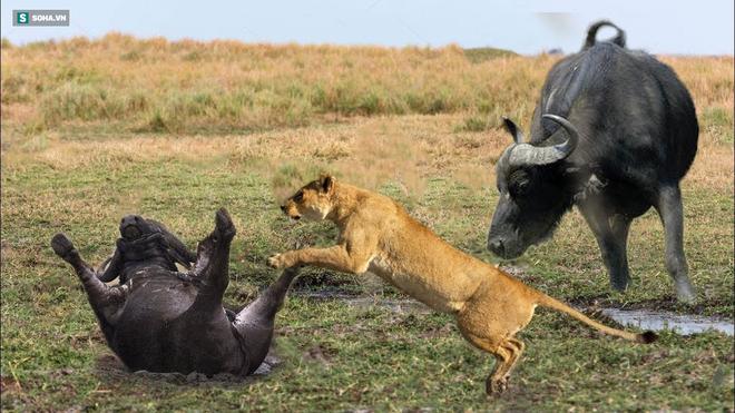 Nghe tin thành viên gặp nạn, trâu rừng ùn ùn kéo đến bao vây bầy sư tử: Kết cục ra sao? - Ảnh 1.