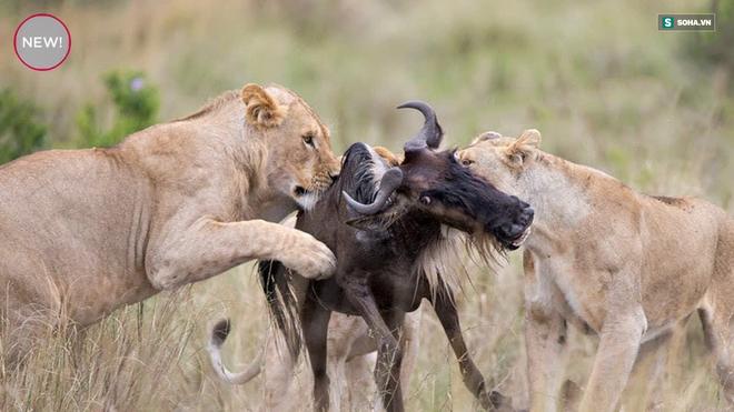 Giữa gọng kìm của 2 con sư tử, linh dương non vẫn làm nên điều kỳ diệu - Ảnh 1.