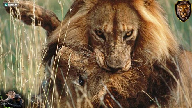 Bước qua bên kia sườn dốc cuộc đời, sư tử già bị đám trẻ bao vây, chết trong ấm ức - Ảnh 1.