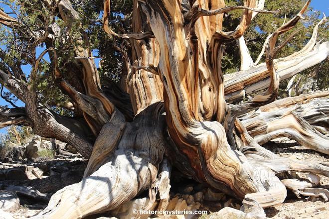 Kỳ lạ cây cổ thụ 5.000 năm, nhiều tuổi hơn kim tự tháp Ai Cập, vẫn sống khỏe - Ảnh 5.