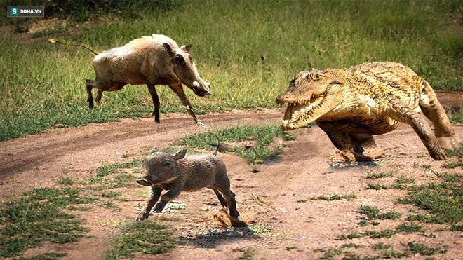 Âm mưu hãm hại lợn con, cá sấu nhận bài học nhớ đời từ lợn bố mẹ - Ảnh 1.