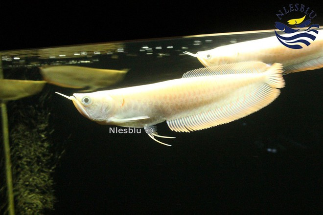 Câu chuyện kỳ lạ về cá rồng: Loài cá cảnh đắt còn hơn cả ô tô đời mới, khiến con người sẵn sàng phạm pháp vì nó - Ảnh 7.