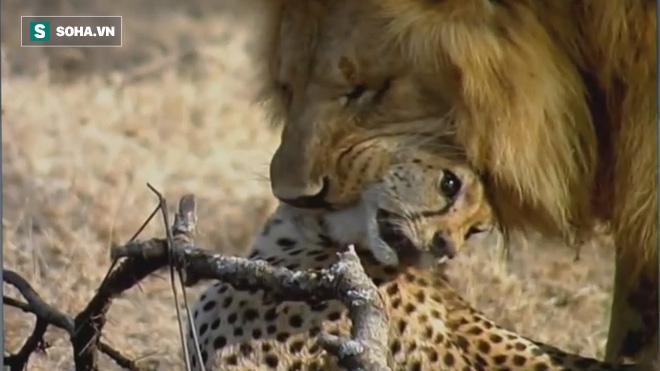Hai sư tử đực truy quét kẻ địch: Hai con báo bỏ mạng bi thảm! - Ảnh 1.