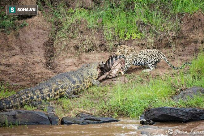 Cả báo và cá sấu có nằm mơ cũng không ngờ có ngày được cứu sống nhờ... trâu rừng! - Ảnh 1.