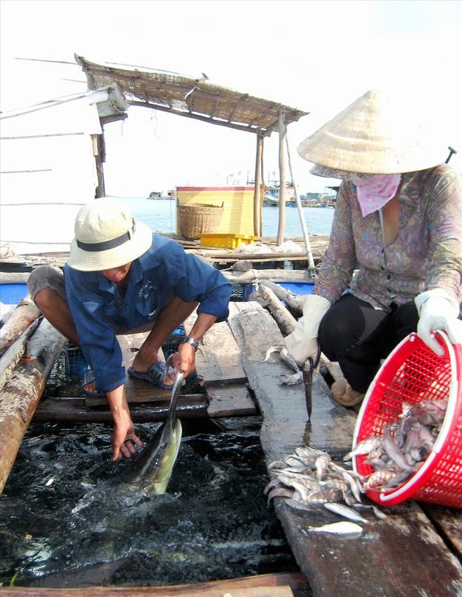 Nghề nuôi cá bạc tỷ ở Sơn Hải - Ảnh 8.