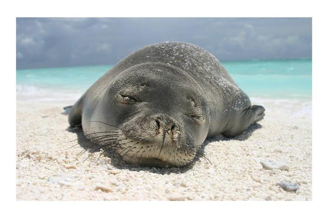 Chú hải cẩu số nhọ được dân mạng khen ngầu dữ dội khi bị lươn chui vào lủng lẳng trên mũi - Ảnh 1.