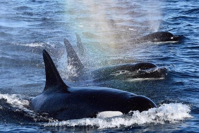Trò chơi vương quyền trên biển (P4): Sáng tỏ hiểu lầm về loài cá voi sát thủ - Ảnh 6.
