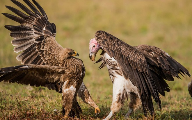 24h qua ảnh: Đại bàng và kền kền quyết chiến giành thức ăn - Ảnh 10.