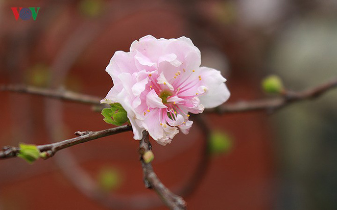 Chiêm ngưỡng vườn Nhất chi mai giữa Thủ đô Hà Nội - Ảnh 1.
