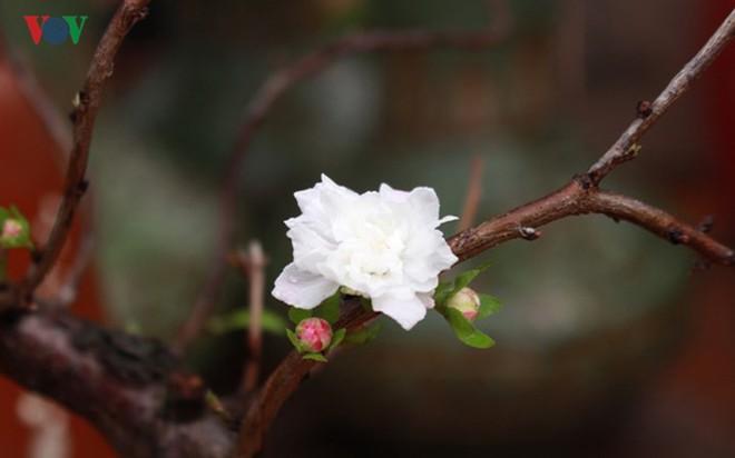Chiêm ngưỡng vườn Nhất chi mai giữa Thủ đô Hà Nội - Ảnh 2.