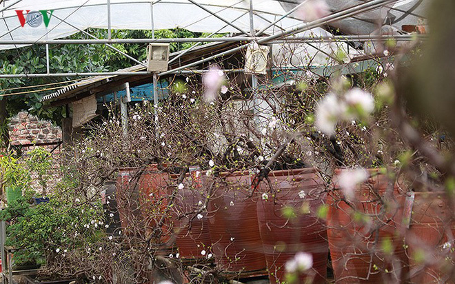 Chiêm ngưỡng vườn Nhất chi mai giữa Thủ đô Hà Nội - Ảnh 12.