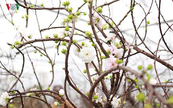 Chiêm ngưỡng vườn Nhất chi mai giữa Thủ đô Hà Nội - Ảnh 14.