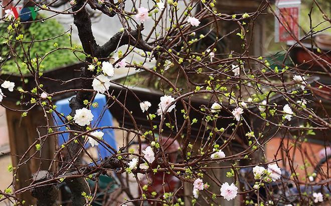 Chiêm ngưỡng vườn Nhất chi mai giữa Thủ đô Hà Nội - Ảnh 4.