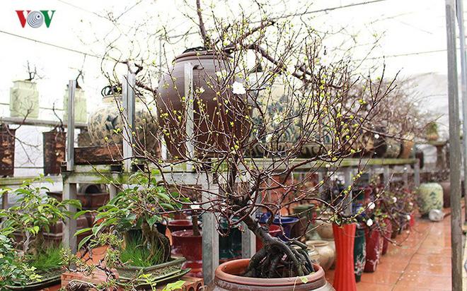 Chiêm ngưỡng vườn Nhất chi mai giữa Thủ đô Hà Nội - Ảnh 7.