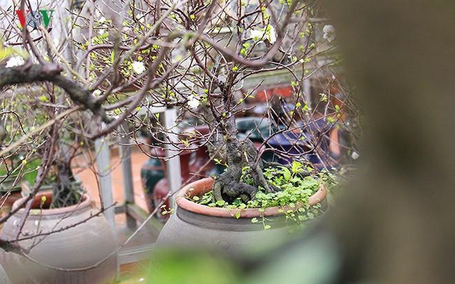 Chiêm ngưỡng vườn Nhất chi mai giữa Thủ đô Hà Nội - Ảnh 8.
