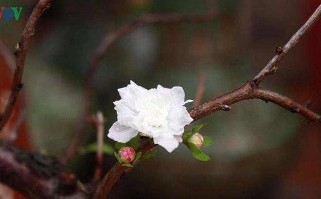 """Chiêm ngưỡng vườn """"Nhất chi mai"""" giữa Thủ đô Hà Nội"""