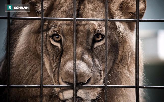 Rơi vào tình huống hiểm nghèo, sư tử tự cắn đứt đuôi mình để thoát thân