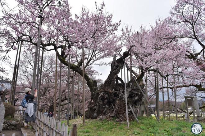 Xem tận mắt cây anh đào được chính phủ Nhật xếp vào hàng báu vật quốc gia - Ảnh 1.