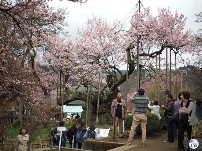Xem tận mắt cây anh đào được chính phủ Nhật xếp vào hàng báu vật quốc gia - Ảnh 6.