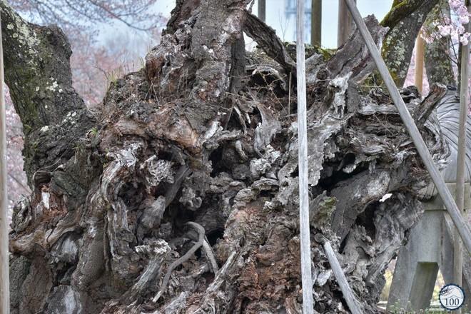 Xem tận mắt cây anh đào được chính phủ Nhật xếp vào hàng báu vật quốc gia - Ảnh 7.
