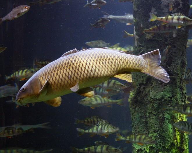 Năm nào cũng đi thả cá ngày Ông Táo, nhưng bạn đã biết những điểm đặc biệt này của cá chép chưa? - Ảnh 1.