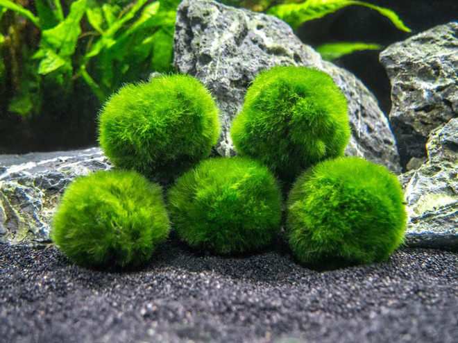 Ngoài sushi và hoa anh đào, thứ màu xanh này cũng được xếp vào hàng báu vật của Nhật Bản - Ảnh 1.