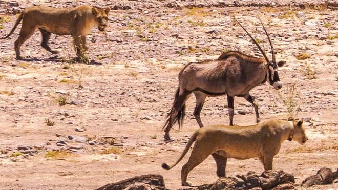 Sư tử rủ nhau đi săn: Hai đánh một mà vẫn vừa chột vừa què - Ảnh 3.